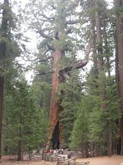 Grizzly Giant (Fabietto76°OZ) Tags: california usa yosemitenationalpark sequoia grizzlygiant thegrizzlygiant mariposagroove