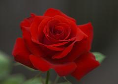 Rose (arjuna_zbycho) Tags: roses flower rose austria österreich olympus e3 gül baden rosas niederösterreich macrophoto badenbeiwien e500 róża róże rakousko makrofoto doblhoffpark الورد roselovers mywinners biosphaerenparkwienerwald gülsevenler