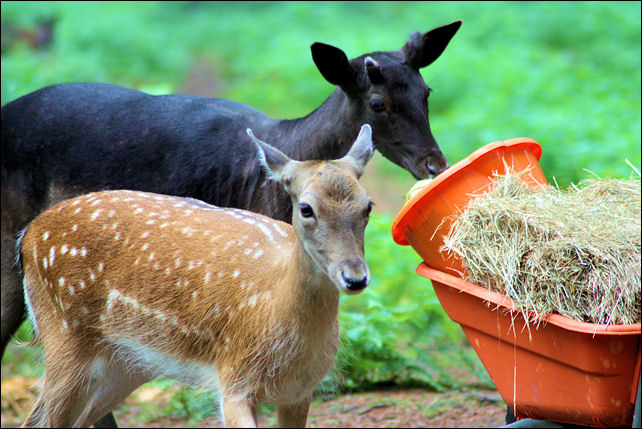 Fallow and Sika Deer Feeding