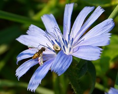 Hoverfly Rainbow (Canicuss) Tags: blue flower nature insect wings rainbow pretty stamen delicate chicory irridescent hoverfly shimmer canicuss