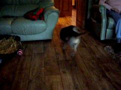 Sophie the Twerlie Girlie (pat-the-pet) Tags: dog sophie hip femur borderterrier