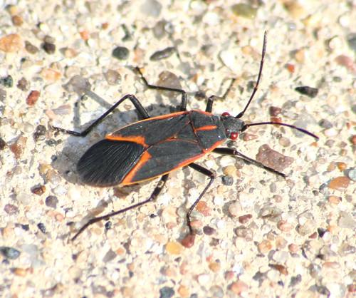 Boisea trivittata - Eastern Boxelder Bug