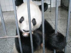 you got da goods, b2c?  Lu Lu waits for his carrots and panda bread (bob2cleo) Tags: work feed volunteer pandas bifengxia