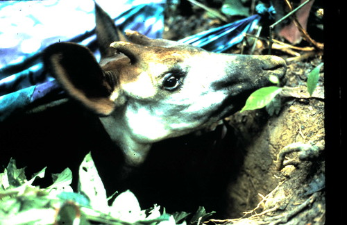 In 1987 a male okapi in a capture pit