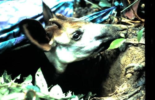 In 1987 a male okapi in a capture pit