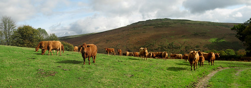 Field of Cows Panoramic Merge (Dartmoor)