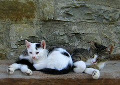 Alice & Richard G (Xena*best friend*) Tags: pet cats chats furry feline alice kitty kittens gato katzen gatti feral richardgere richardg canondigitalixus50 kissablekat naturescreations aliceskitten