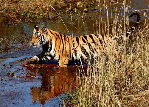 wild animal tiger videos in forest