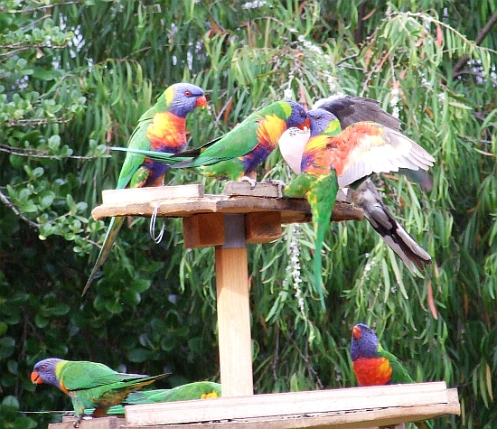 rainbow lorikeets in action 06
