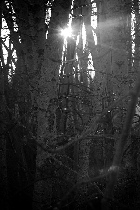 trees vignette b&w