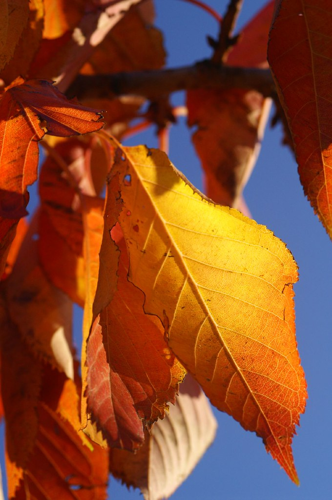 Gold Leaf 011