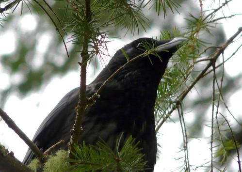 Crow 05Nov08