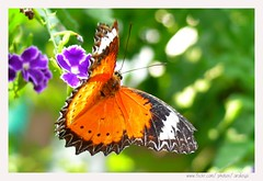 Flying (Araleya) Tags: orange home nature animal butterfly garden insect thailand flying interestingness wings wind side panasonic explore lovely fz50 nonthaburi araleya i500 theperfectphotographer leicadigtial