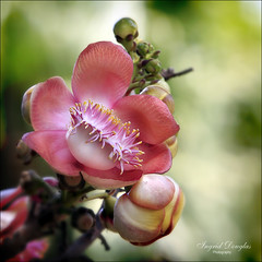 Cannonball Flower - A feast for the eye. (Ingrid Douglas Images - ART in Photography) Tags: ingrid bokeh oz australia images bec douglas 3f fff cannonball pinkflowers tropicalflowers australianflora explored cannonballflower fantasticflower bokehlicious abigfave goldenbokeh infinestyle empyreanflowers macroflowerlovers