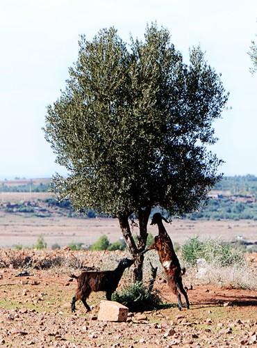 Goats Standing.jpg