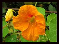 Orange Nasturtium Bud And Bloom Black Framed (Chrisser) Tags: flowers autumn ontario canada nature photoshop garden gardening fourseasons closeups nasturtiums edibles flowerfactory tropaeolaceae tropaeolummajus framedphotos olympuscamediac765
