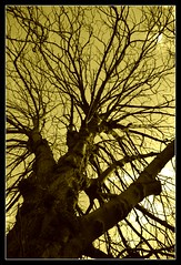 branching out in sepia (LieselRose) Tags: trees tree branch branches bark arboreal flickrchallengegroup flickrchallengewinner lieselrose