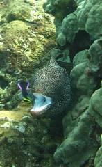 cleaning station 3 (bluewavechris) Tags: ocean life sea white water station animal coral hawaii rainbow marine underwater teeth diving maui cleaning snorkeling hawaiian eel cleaner reef creature moray wrasse cleaningstation