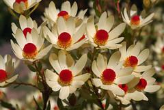 Leucadendron discolor (Eric Hunt.) Tags: california red orange santacruz yellow cream pale ucsantacruz leucadendron proteaceae leucadendrondiscolor