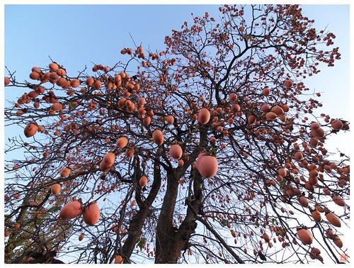 Persimmon tree 081202 #03