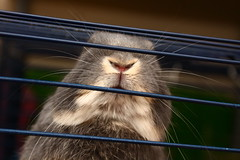 Nose & Mouf ! (Mark Philpott) Tags: pet pets house rabbit bunny bunnies snuggle furry blu fluffy rabbits loved mumble flopsy
