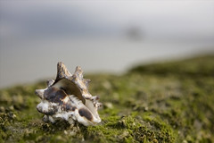 just a shell (Sabinche) Tags: germany shell sylt sabinche buhne canon2470mmf28l northfrisia