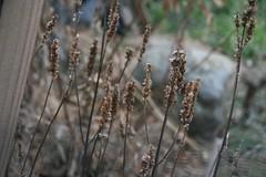 hyssop seedheads