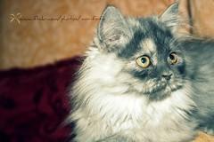 (F A 6 O M `✿) Tags: eye art cat canon place fofo riyadh ksa فن قطوة d400 قطة فطوم fa6om fa6omphotography✿s صاحباتي الشريره