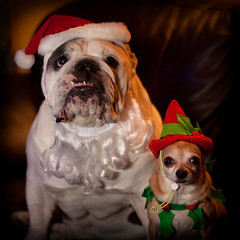 Christmas 08 (tappit_01) Tags: santa christmas dog dogs searchthebest englishbulldog 2008 chihuahuha