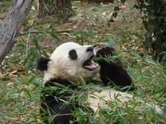 Singin in da mownin (TaiBoo~) Tags: panda nationalzoo pandas taishan