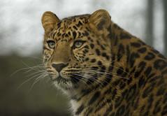 Amur Leopard (Jim Nicholson) Tags: nikon d70 nikond70 leopard marwell amurleopard pantherapardusorientalis zooanimal jimnicholson impressedbeauty vogonpoetry itsazoooutthere sigma150500 flickrbigcats sigma150500apohsm vogoncentumvisum sigma150500f5063apohsm
