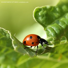 Ladybug on green leaf (Konstantin Sutyagin) Tags: red summer plant abstract black macro green nature ecology beautiful beauty field grass leaves sunshine closeup lady bug garden insect photo leaf flora colorful view natural bright vibrant background beetle scenic meadow vivid environmental fresh dot foliage growth harmony ladybird ladybug environment dots botany idyllic tranquil grean