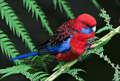 Crimson Rosella on the tree ferns (aaardvaark) Tags: australia canberra act crimsonrosella platycercuselegans australiannationalbotanicgardens anbg 2009051503032crroanbg