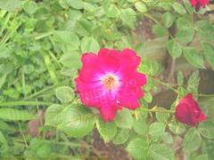 2009-05-28 058 Flower in Red (Badger 23 / jezevec) Tags: red flower fleur rouge rojo flor may vermelho  blume fiore rood rosso 2009 bloem   punainen erven    rooi kvt   bermeyu vbr  wabigon  badger23 20090528  barwa czerwona rd
