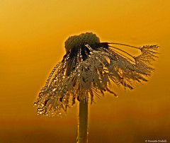 Sunrise dandelion (dorena-wm) Tags: light nature sunrise licht natur dandelion dew tau sonnenaufgang tropfen lwenzahn pusteblume bestcapturesaoi elitegalleryaoi mygearandme mygearandmepremium mygearandmebronze mygearandmesilver mygearandmegold dorenawm mygearandmeplatinum mygearandmediamond