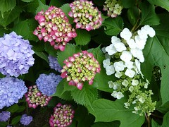 H. macrophylla & H. quercifolia (jon orue) Tags: hydrangea hortensia macrophylla quercifolia