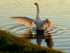 Just keep away  .....  or else!!! (algo) Tags: uk england white water backlight swan wings topf50 topv333 bravo topv1111 buckinghamshire topv999 algo topf100 threat wendover 100f contrajour 7203 50f westernturvillereservoir pltinumphotograph