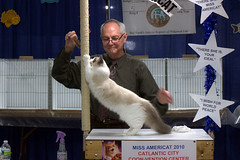 """""""There She Is, Miss Americat!"""" (Garden State Cat Show) Tags: cats cat newjersey nj catshow gardenstate cfa catclub"""