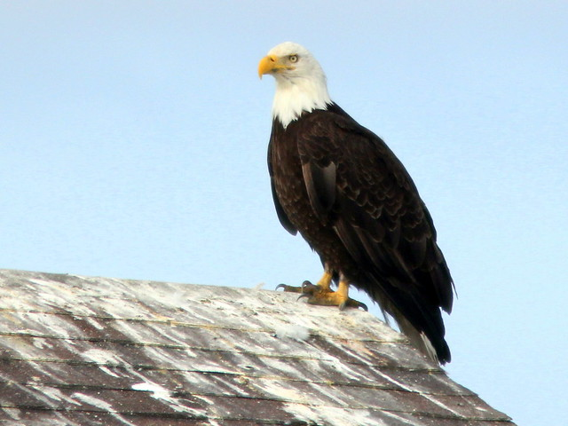 Eagle on rooftop Homer20110622