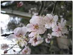umeblossoms (japanqna) Tags: japan ume plumblossoms umeblossoms