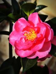 Da Li Rose (JPL Nitro IN/OUT :() Tags: flowerotica laflormasbella mywinners platinumphoto anawesomeshot brilliant~eye~jewel llovemypic natureselegantshots flowersarefabulous