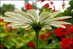 Back Bottom Blossom Bokeh (Austie1) Tags: fab white flower macro canon orlando florida blossom bottom booty leugardens powershots3 platinumphoto theunforgettablepictures babygracephotography hindside
