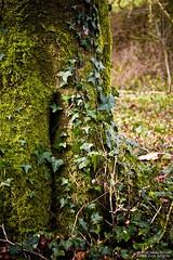 The Holly and the Ivy (Sean Bolton (no longer active)) Tags: tree wales carmarthenshire cymru ivy holly nationalbotanicgardenofwales seanbolton ffotocymrucouk wfc09032008nbg