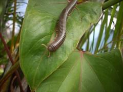 cien pies 250 (jvargas) Tags: macro nature fauna insect cienpies