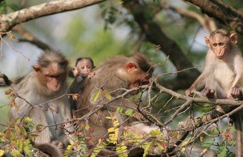 macaque family d r durga 050408