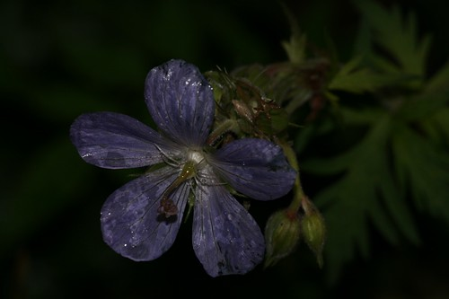 Blue Geranium