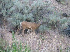 Steens Mt mule deer doe