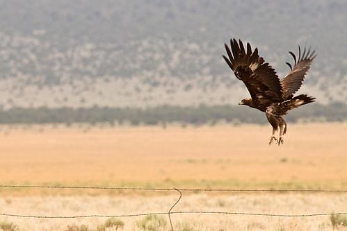 golden eagle in flight. Golden Eagle in flight