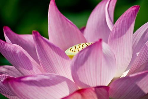 Kenilworth Aquatic Gardens - Lotus Blossom - 7-20-08