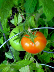 Home Grown Tomatoes, Coming Soon to a Salad Near You (moonjazz) Tags: life california red two food green garden outside salad yummy healthy duo smooth vine hobby fresh delicious delight round bite ready growing vegtable homegrown plump tomatoe ripe tastey nutrition vitamin sustain supershot flickrlovers